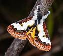 Gorgeous Eudryas brevipennis - Eudryas brevipennis