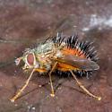 Unknown Fly - Hystricia abrupta