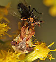 Phymata sp. - Phymata fasciata