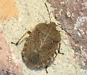 Pentatomidae sp, - Menecles insertus
