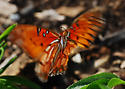 Gulf Fritillary In Motion (So What's New?) - Agraulis vanillae
