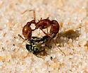 The ant won. - Pogonomyrmex comanche