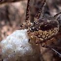 spider with egg sac - Scytodes
