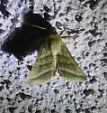 green Schinia? - Chloridea virescens