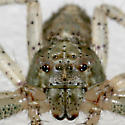 Crab Spider 4 - Tmarus - female