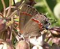 Red-banded Hairstreak - Hodges#4299 - Calycopis cecrops