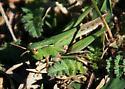 grasshopper, Slant-Faced Pasture ? - Orphulella speciosa - female