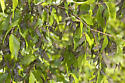 Mississippi Mayfly - Hexagenia bilineata