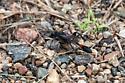 Thread waisted wasp Ammophila nigricans? - Ammophila