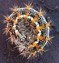Prickly caterpillar - Simyra insularis