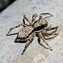 Menemerus bivittatus -- The Wall Jumper - Menemerus bivittatus - female