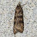 Lucerne Moth - Hodges#5156 - Nomophila nearctica
