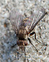 Small Fly - Siphona