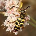 beetle - Strophiona tigrina