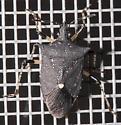 Proxys punctulatus - Black Stink Bug - Proxys punctulatus