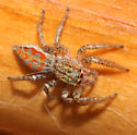 Another red-marked jumper - Maevia