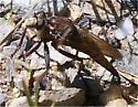 Robber Fly - Proctacanthus