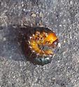 Unknown Beetle Larvae - Monocesta coryli