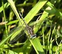 Lilypad Clubtail ? - Arigomphus