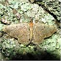 Rheumaptera prunivorata - #7292 - Rheumaptera prunivorata