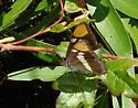 California Sister Butterfly ? - Adelpha californica