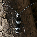 Rosalia funebris - female