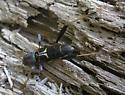Longhorn Beetle? - Neoclytus mucronatus