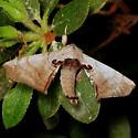 Spotted  Apatelodes - Hodges#7663 - Apatelodes torrefacta
