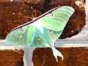 Actias luna - Luna Moth - Hodges#7758 - Actias luna