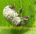Another milkweed beetle - Rhyssomatus lineaticollis