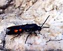 wasp thing - Campsomeris ephippium - male