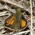 Indian Skipper - Hesperia sassacus - male