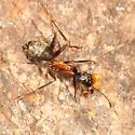 Camponotus? - Camponotus chromaiodes