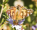 Brown, yellow, and white butterfly - Vanessa cardui