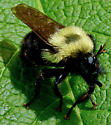 Bee ID - Laphria thoracica