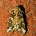 Spodoptera ornithogalli? - Spodoptera ornithogalli
