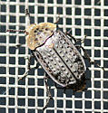 Northern Carrion Beetle? - Thanatophilus lapponicus