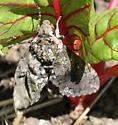 Large furry moth - Manduca sexta
