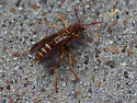 Brown and Yellow Wasp - Polistes bellicosus
