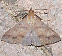 Discolored Renia Moth - Hodges#8381 - Renia discoloralis - male