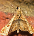 Moth - Palthis angulalis