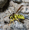 Wasp closing nest? - Pterocheilus - female