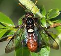 Elm Sawfly? - Cimbex americana