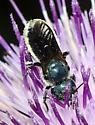 Megachilid ? - Osmia chalybea - female