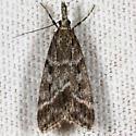 Unknown moth - Eudonia commortalis