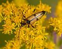 Longhorn 1 - Etorofus subhamatus
