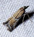 Rostrolaetilia sp.? - Alpheioides parvulalis