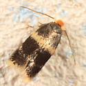 small moth - Etainia ochrefasciella