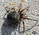 Orb Weaver, Canaan Valley NWR - Araneus