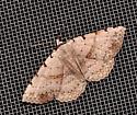 Moon-lined moth - Spiloloma lunilinea